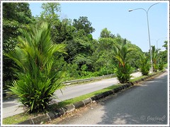 Cyrtostachys renda/lakka (Lipstick Palm, Red Sealing Wax Palm), lining up the road divider