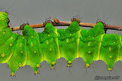 Florescent green larva (Green Baron) Tags: moth caterpillar saturniid actias theperfectphotographer 200910 beautifulmonsters