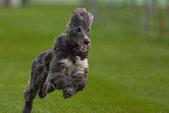 Afgane Hochsteckfrisur (Alexander J.) Tags: dog dogs ex training canon sigma hund rennen lorch highiso windhund iso6400 30028 hunderennbahn 5dmk2 14xtk afgane