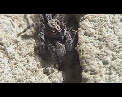 Pedipalp powered - Clynotis sp.? (servitude) Tags: macro video backyard australia tasmania hobart jumpingspider arthropoda arachnida araneae behaviour salticidae chelicerata dynnyrne pedipalpwaving