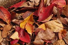 遠くの紅葉より足下の紅葉