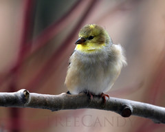 Her First Winter (Beth Crawford 65) Tags: winter cute nature birds animals canon soft bokeh outdoor wildlife free fluffy delicate avian gentle songbirds femaleamericangoldfinch bethcrawford treecandynaturephotography