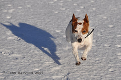 Me And My Shadow, Flying In The Snow (JRT ) Tags: shadow dog sun snow cold fur jack nose flying eyes nikon jrt russell sunny ears terrier jackrussell belle paws collar pawprints jackrussellterrier d90 thegalaxy brownhead