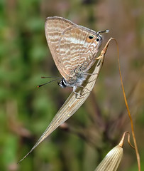 Long-tailed Blue (Greenwings Wildlife Holidays) Tags: blue butterfly tail aegean lepidoptera rodos rhodes greenwings lampidesboeticus mattberry longtailedblue natureofgreece greeknature greekbutterflies photocontesttnc11 greenwingsco