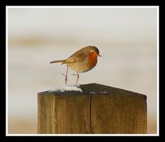 Snowy robin hop! (Levels Nature) Tags: christmas red snow bird nature robin jump cornwall hop bodmin topshots fbdg natureselegantshots carlsbirdclub flickrsportal