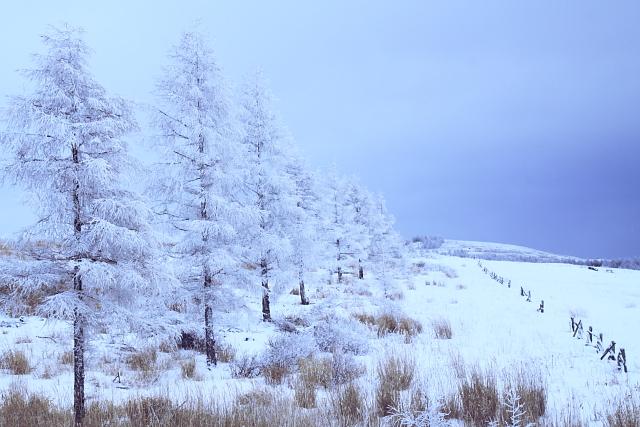 霧氷の並び