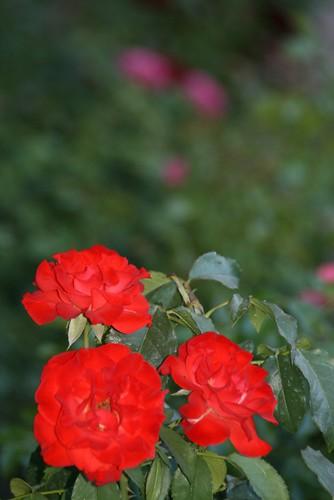 Las Flores de Rojas