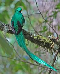 Resplendent Quetzal (2) (David Y. Allen) Tags: birds costarica talamanca resplendantquetzal quetzals