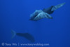 Whales Checking Out Sonar (Tony Wu Underwater Photography) Tags: whale calf mammalia dominica marinemammals motherandcalf マッコウクジラ cetaceanscetacea spermwhalephysetermacrocephalus spermwhalephyseteridae toothedwhalesodontoceti