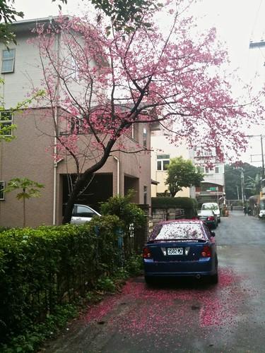 路上遇見櫻花