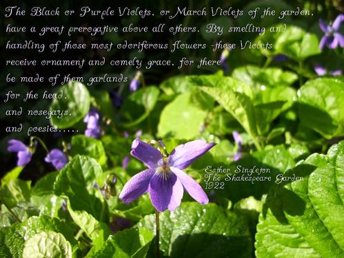 Violets for Valentine's Day