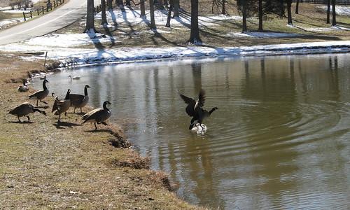 Canada geese at Mallard lake