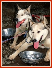 Alaska Sled Dogs, Happy Huskies (moonjazz) Tags: dogs tongue alaska work fur nose happy team pair coat ears huskies paws breed sled alert cannine