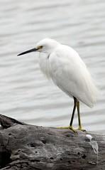 Snowy Egret (birding4ever) Tags: 5 snowyegret egrettathula