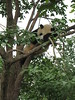Different panda sleeping in a diff…