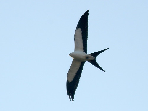 Swallow-tailed Kite 20100302