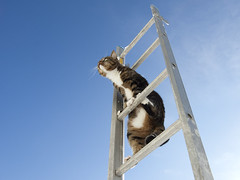 Ladder cat (Kim Ledin) Tags: