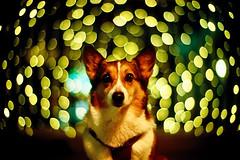 my memory can hold only one thing (moaan) Tags: leica light dog vortex 50mm gold golden corgi dof bokeh illuminations f10 kobe utata rokko swirl  noctilux welshcorgi starry starlet leicam7 2010 m7  fujivelvia100 rvp100 explored pochiko goldenbokeh leicanoctilux50mmf10 southernmallrokko  gettyimagesjapanq1 gettyimagesjapanq2