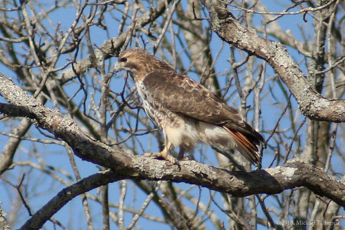 Red Tailed Hawk (3)