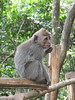Bali (twiga_swala) Tags: bali mountain indonesia island monkey queue macaco macaque longtailed longue macaca crabeating fascicularis gobleg asah javaneraffe crabier cangrejero