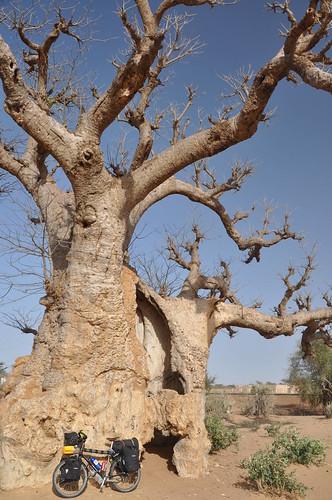 Big Baobab