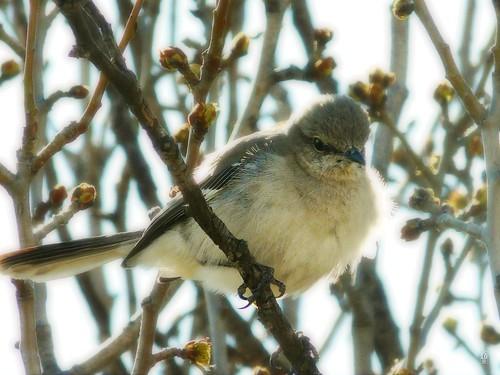 Mockingbird, Odessa, Texas