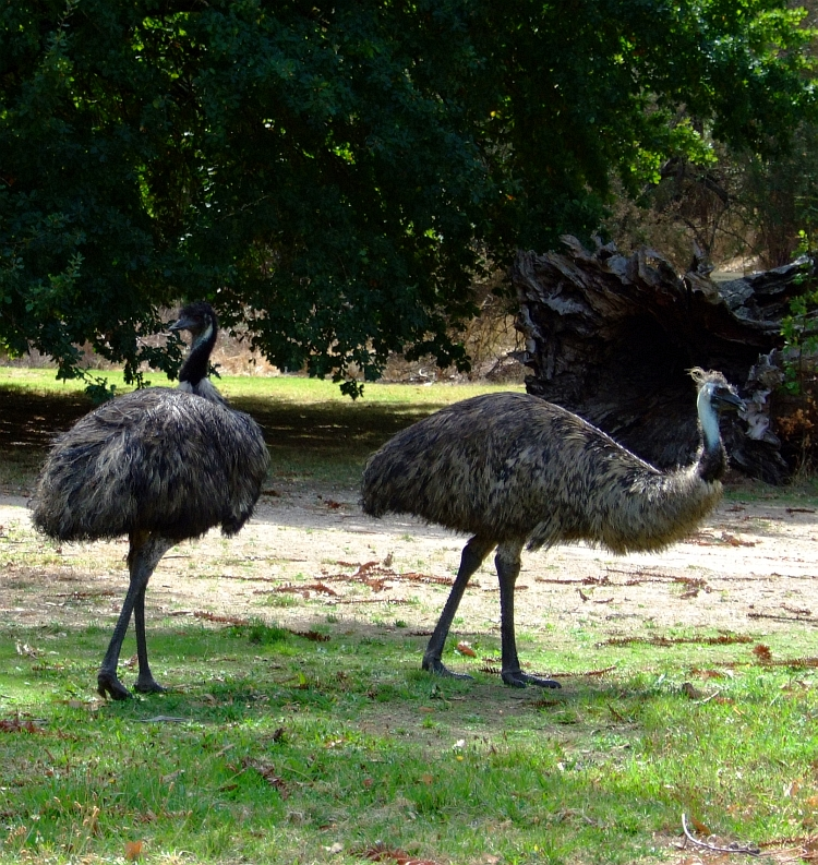 two emu