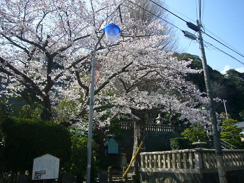 叶神社の桜
