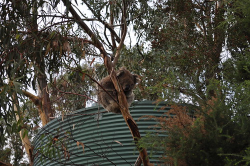Koala in a small tree (Kennett River)