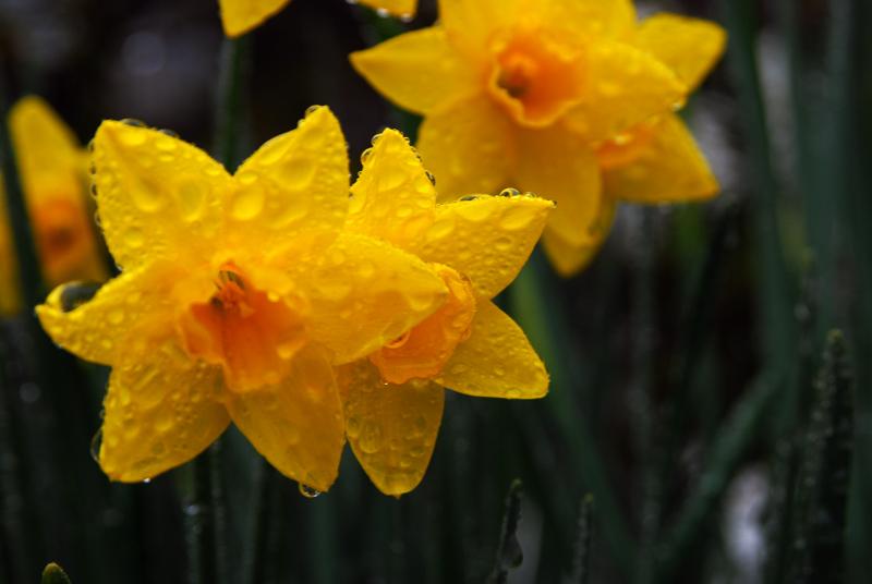 wetdaffodils
