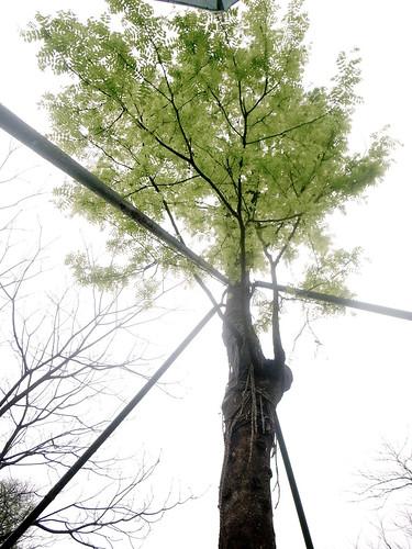 高大的皂荚树