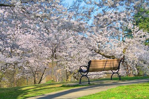 High Park Cherry Blossom
