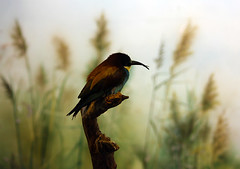 127 (AnkhaiStenn) Tags: zoo golden russia moscow russian beeeater merops apiaster