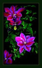 Clematis (siggi2234) Tags: clematis blumen lila mai picnik blten meingarten ketsch fantasticflower shwotan siggi2234 frhling2011