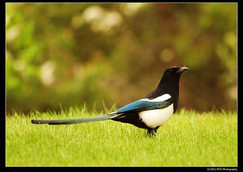 Common Magpie (Pica pica)