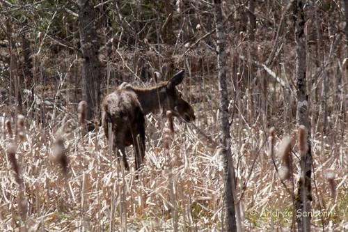 Runaway Pond Moose  -10.jpg