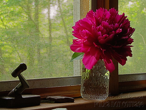 365 day 148 - The annual peony on the windowsill shot