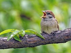 DSC_6211- Sparrow (tune505) Tags: korea sparrow seoul