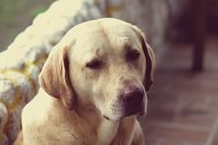 Perrito (Joz3.69) Tags: portrait dog pet animal animals vintage colombia labrador pentax gimp sigma labradorretriever kr 75300mm gigante huila silvania f456 75300mmf456 hotelcasagrande sigmadlzoom75300mm1456 udaw pentaxkr