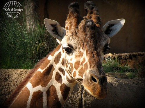 Number 13: Giraffe - Dallas Zoo