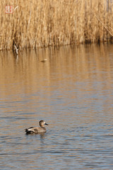 Reed Bed Gadwall (Rhapsody-In-Blue) Tags: reed animal duck wildlife canard reedbed roseau gadwall anasstrepera roselire canardchipeau