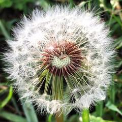 little things (C_Kho) Tags: cliche taraxacum plant weed flower instagram nofilter nature dandelion digital phone