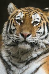 Tijger (Sander van der Wel) Tags: tiger rhenen ouwehands dierenpark