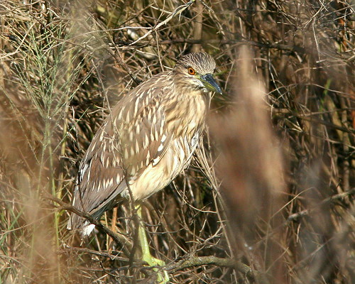 Immature Black-crowned Night-Heron 20091025