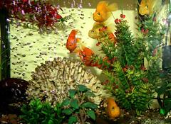 Cuties from Khorasan (Shahireh) Tags: fish colorful fishes