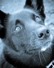 My Sweetie (FriaLOve) Tags: dog white black reflection cute love finland nose eyes jane sweet germanshepherd ruovesi beardog sonya300 frialove adobephotoshoplightroom11