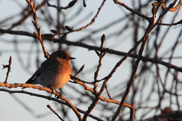 mountainBluebirdSunset