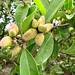 Fruto de Jeli