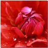 DAHLIA (PHOTOPHOB) Tags: dahlia flowers autumn summer plants plant flores flower color macro primavera nature fleur beautiful beauty sex fleurs petals spring colorful flickr estate blossom sommer herbst natur flor pflanze pflanzen blumen zomer verano bloom otoño blomma verão dalie été blume fiore blomst printemps asteraceae outono dahlias dalia lenz frühling bloem jesień floro kwiat dahlie lato léto sonbahar dahlien květ blomman efterår blomsten dalio photophob wonderfulworldofflowers