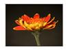 A New Day, A Fresh Start.. (A.J.Pendleton-Lightbox 2008 (On and Off)) Tags: flowers flower macro nature closeup canon upclose aclass 100mmmacro dapa camerafilters omot worldclassimage dapagroupmeritaward flowerorfoliagedetail floraandfaunaoftheworld dapagroupmeritaward3 dapagroupmeritaward2 dapagroupmeritaward1 simplythebestflowers ourmemoriesourtimes showusyourbest floralfantasia fineartphotographicemporium artedalcuore awesomephotoimagery flowerstheultimategalleryofflowers wonderfulworldofnature